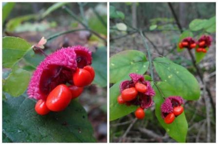 American Strawberry Bush, Hearts-A-Burstin', Wahoo, Brook Euonymus