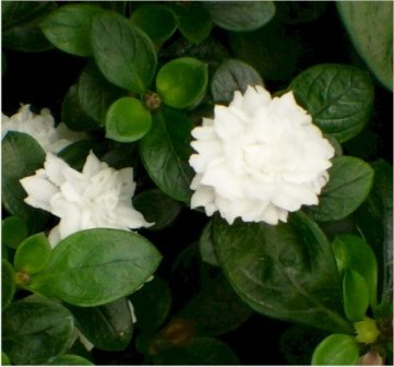 Double White Serissa, Snowrose, Tree of a Thousand Stars, or Japanese Boxthorn