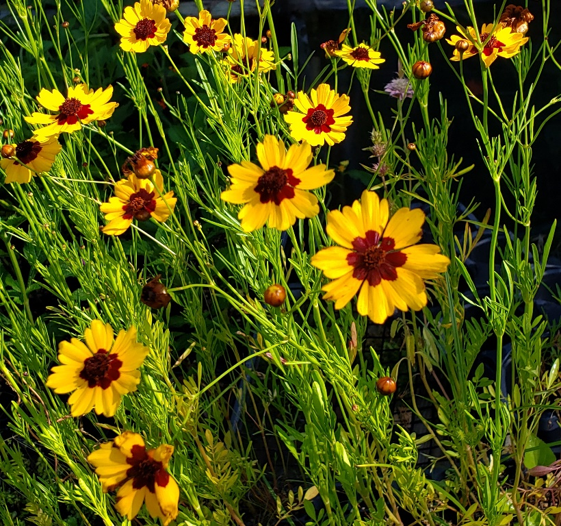Plains Coreopsis or Golden Tickseed, Coreopsis tinctoria