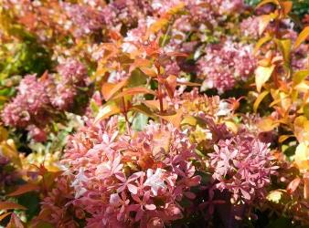 Peach Perfection™ Abelia
