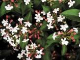 Fragrant Pink Abelia, Mosang Abelia