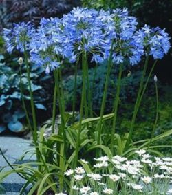 Blue Heaven Lily of the Nile, Agapanthus (Repeat Flowering), Agapanthus 'Blue Heaven'