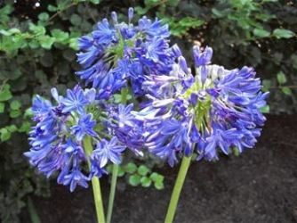 Blue Yonder Lily of the Nile, Agapanthus (Cold Hardy, Repeat Flowering)