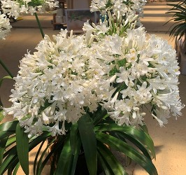 Ice Angel™ Lily of the Nile, Agapanthus