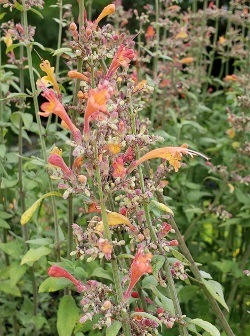 Coronado® Red Hummingbird Mint, Jewel of the Sierra Madre, Agastache, , Agastache aurantiaca 'Pstessene' (a.k.a. A. aurantiaca 'Sonoran Sunset')