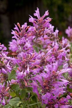 First Light® Sunrise™ Rose Agastache, Hummingbird Mint