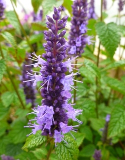 Little Adder Agastache, Hyssop