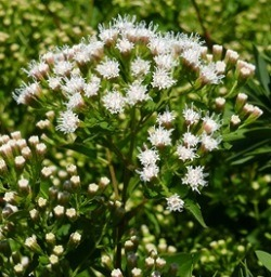Fragrant White Mistflower, Shrubby White Mistflower, Shrubby Boneset, Havana Snakeroot