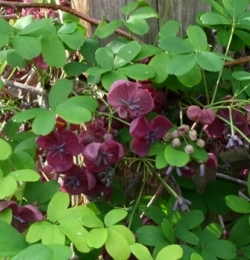 Purple Five-leaf Akebia, Chocolate Vine