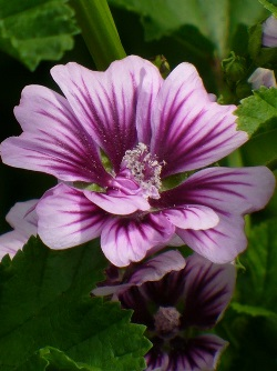 Zebrina Hollyhock Mallow, Zebra Mallow, French Hollyhock, Common Mallow, Wood Mallow, Tree Mallow, High Mallow, and Cheeses