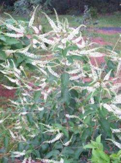 Sweet Almond Verbena, Incense Bush