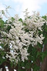 White Rose of Montana, White Coral Vine