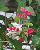 Baja Red Rose of Montana, Coral Vine, Antigonon leptopus 'Baja Red'
