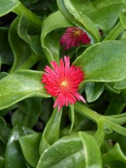 Red Apple Heartleaf Ice Plant, Baby Sunrose, Aptenia