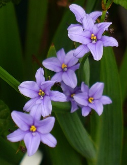 Blue Stars, Blue Corn Lily, Blue-Eyed Iris