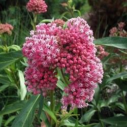 Cinderella Swamp Milkweed, Pink Milkweed