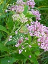 Swamp Milkweed, Pink Milkweed