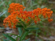 Butterflyweed, Butterfly Milkweed, Orange Milkweed, Pleurisy Root