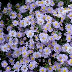 Kickin® Lavender Aster, Dwarf New England Aster