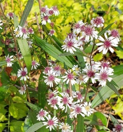 White Woodland Aster, Calico Aster, Starved Aster, One-sided Aster
