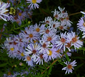 Willowleaf Aster, Willow Aster