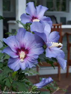 Purple Satin® Althea, Rose of Sharon
