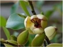 Banana Magnolia, Banana Shrub