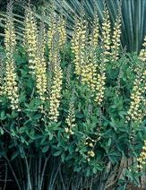 Carolina Moonlight Baptisia, Wild Indigo