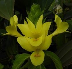 Yellow Barleria, Giant Shrimp Plant, Giant Yellow Justicia