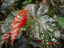 Cracklin' Rosie Angel Wing Begonia