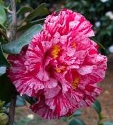 Bella Romano Camellia