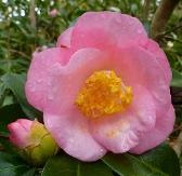 Berenice Boddy Camellia