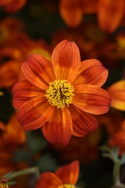 Bee Happy™ Red Improved Bidens, Bidens ferulifolia 'Baleehedi'
