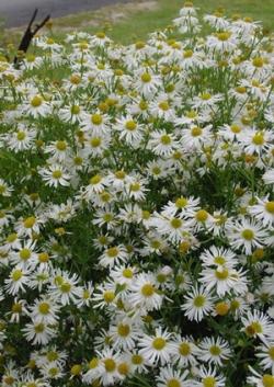 Snowbank Boltonia, False Aster, White Doll's Daisy