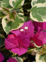 Raspberry Ice Bougainvillea, Tropical Rainbow Bougainvillea