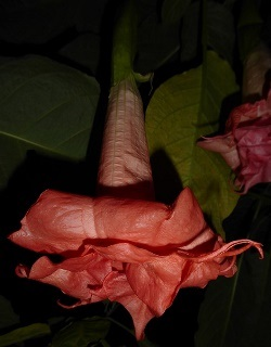 Audrey Lea Angel's Trumpet (Double Pink)