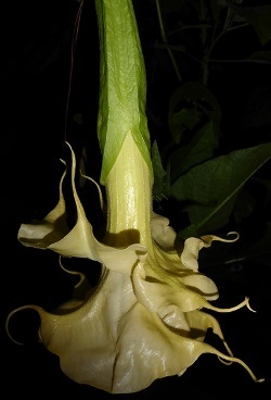 Goldflame Angel's Trumpet (Double Yellow)