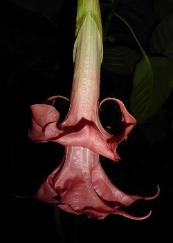 Pink Perfektion Angel's Trumpet (Double Pink)
