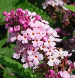Buzz™ Soft Pink Butterfly Bush, Buddleia