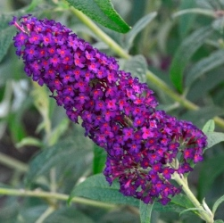 Monarch® Dark Dynasty Butterfly Bush, Buddleja