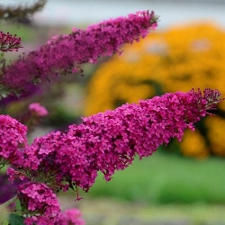 Monarch® Queen of Hearts Butterfly Bush, Buddleja