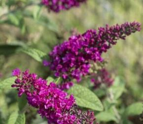 Summer Sips™ Sangria Butterfly Bush, Buddleia