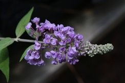 Lo' & Behold™ Blue Chip Butterfly Bush, Buddleja