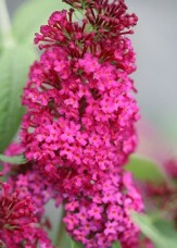 Miss Molly Butterfly Bush, Buddleja