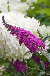 Miss Ruby Butterfly Bush, Buddleja
