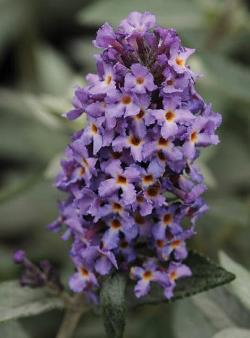 Flutterby Petite® Blue Heaven Butterfly Bush, Buddleia