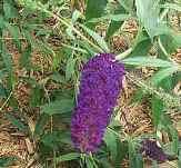 Black Knight Butterfly Bush, Buddleja