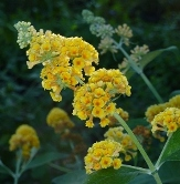 Honeycomb Yellow Butterfly Bush, Buddleja