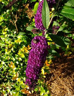 Black Knight Butterfly Bush, Buddleja, Buddleja davidii 'Black Knight'