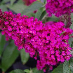 Buzz™ Hot Raspberry Butterfly Bush, Buddleja, Buddleja davidii 'Hot Raspberry'